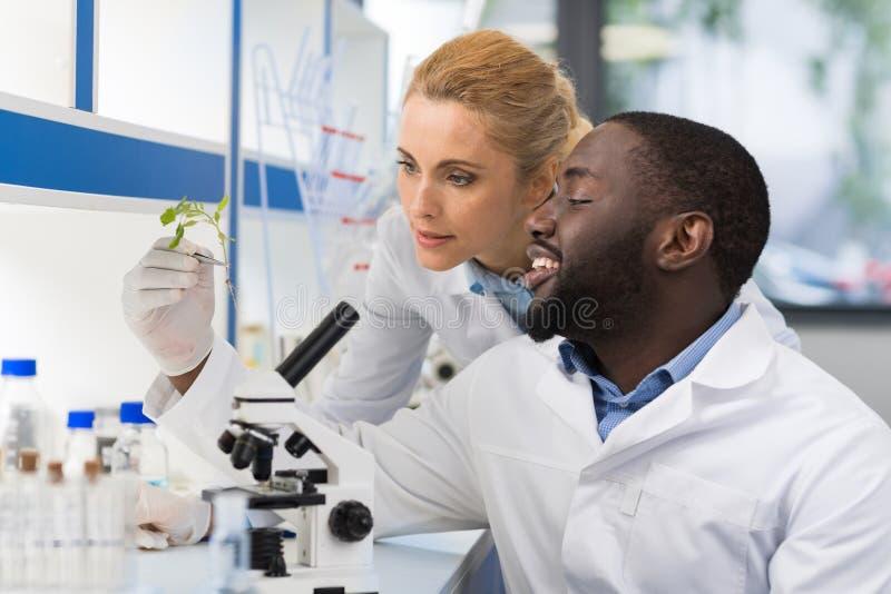 Cientistas que olham a amostra de planta que trabalha no laboratório da genética, par da raça da mistura dos pesquisadores que an imagem de stock