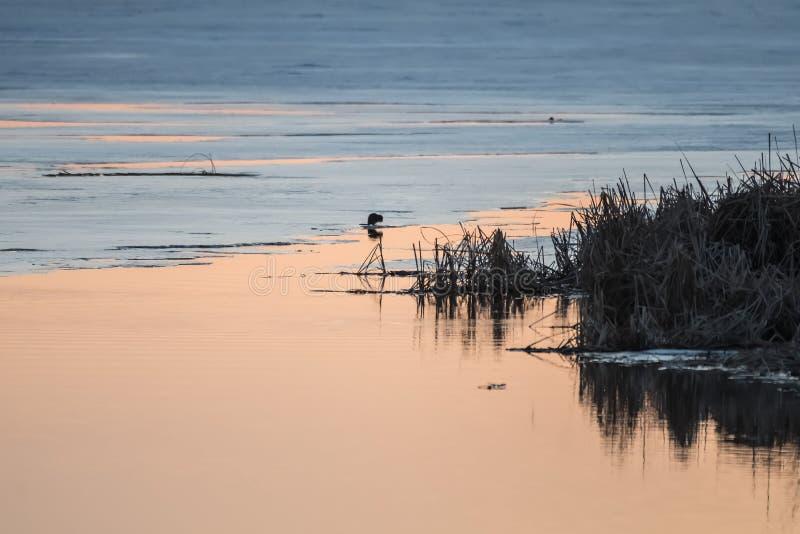 Ciepła wieczór wiosna barwi na jeziorze gdy kopyto_szewski lód topi zdjęcia royalty free