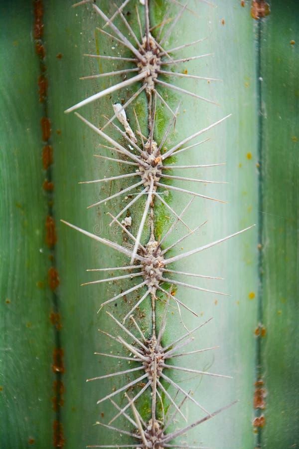 Cierń Złoty lufowy kaktus Hildm lub Echinocactus grusonii, to jest pustynnym drzewem swój ciała spojrzenie jak który był wiele ci fotografia royalty free