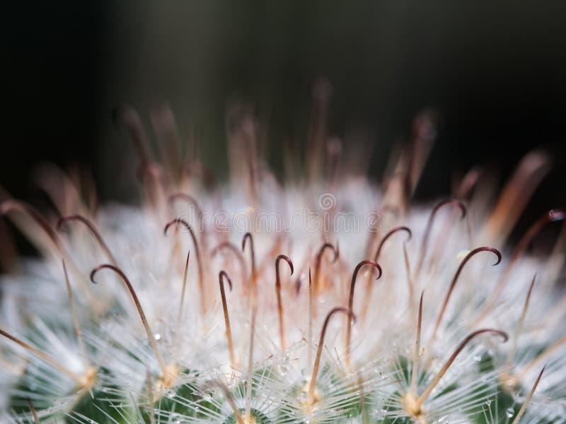 Ciernie kaktus są Sharped haczykami obraz royalty free