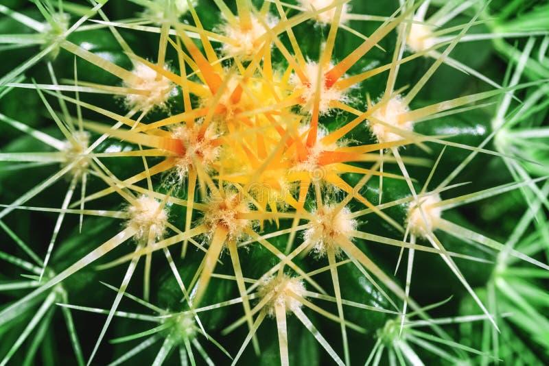 Ciernie kultywujący jako dekoracyjna roślina w makro- kluczu p kaktus zdjęcie royalty free