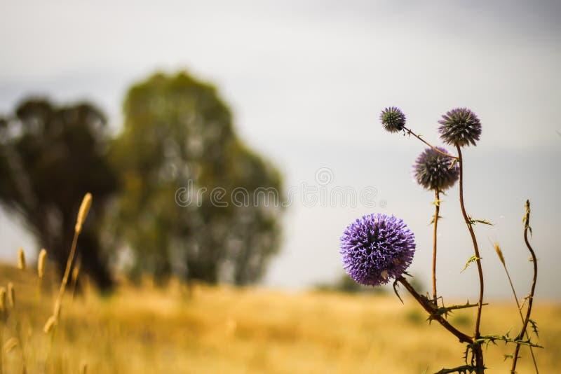 Ciernie w gorącym lata polu zdjęcie royalty free