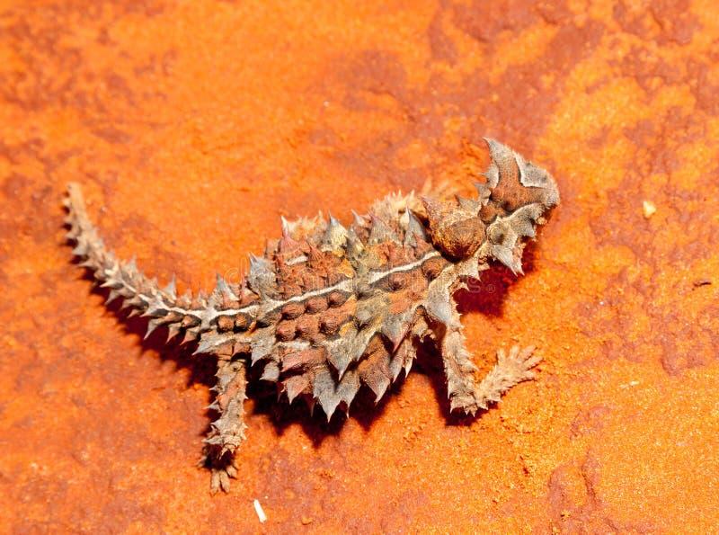 Cierniowata czarcia jaszczurka Australia fotografia royalty free