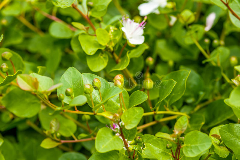Cierniowata kaparowa roślina fotografia royalty free