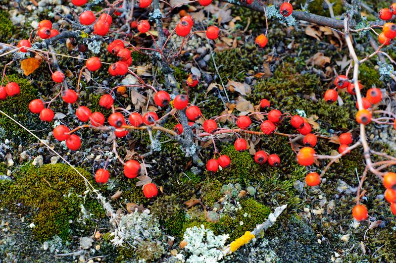 Cierniowate gałąź głóg z czerwonym jagody zakończeniem obraz royalty free