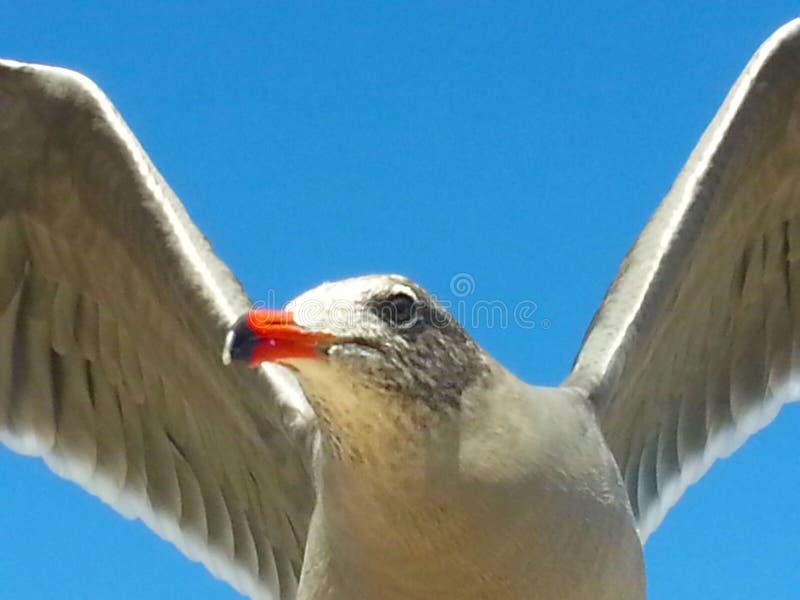 Cierre abierto de las alas del cielo azul de la mosca de la gaviota encima del pico anaranjado imagen de archivo libre de regalías
