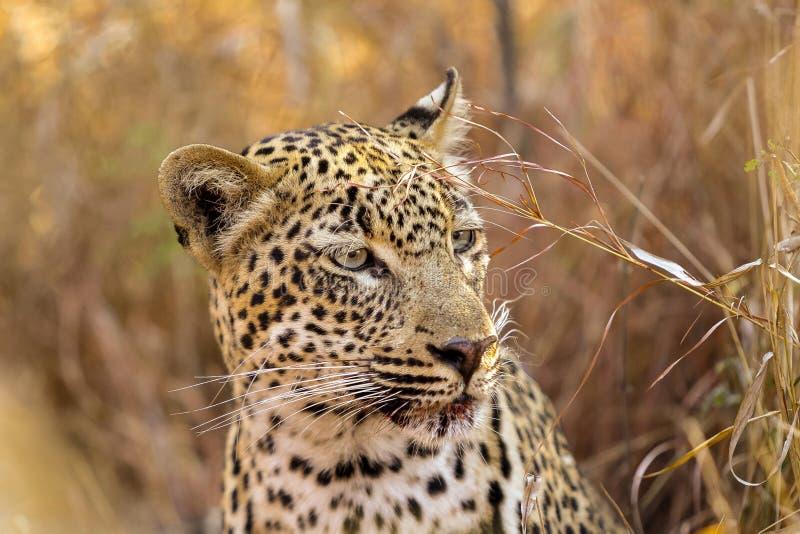 Cierre africano del leopardo para arriba de la cara en la salida del sol foto de archivo libre de regalías