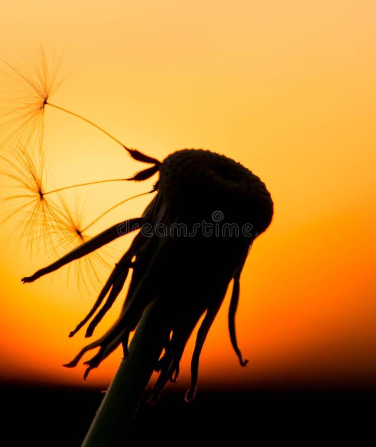 Cierre amarillo claro del cielo del control macro de la opinión de la puesta del sol del diente de león encima de la tarde del ve foto de archivo