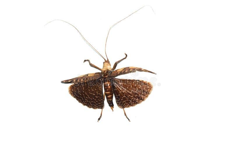 Cierre amarillo grande del escarabajo para arriba, aislado, entermedia del sania fotografía de archivo libre de regalías