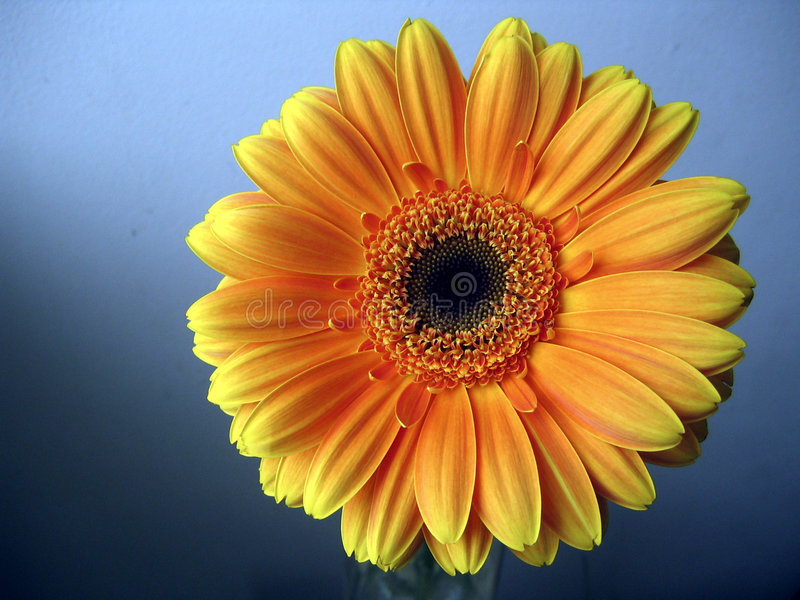 Cierre amarillo-naranja de la flor del Gerbera para arriba en fondo azul foto de archivo