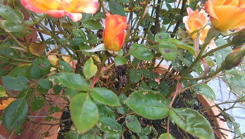 Cierre amelocotonado de la rosa del patio para arriba imagen de archivo libre de regalías