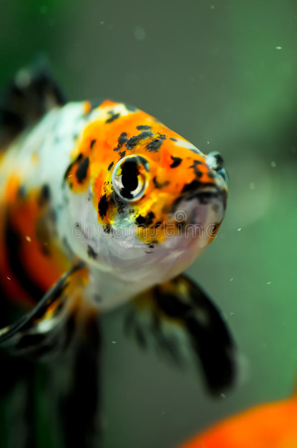 Cierre americano del shubunkin para arriba en un acuario fotografía de archivo libre de regalías