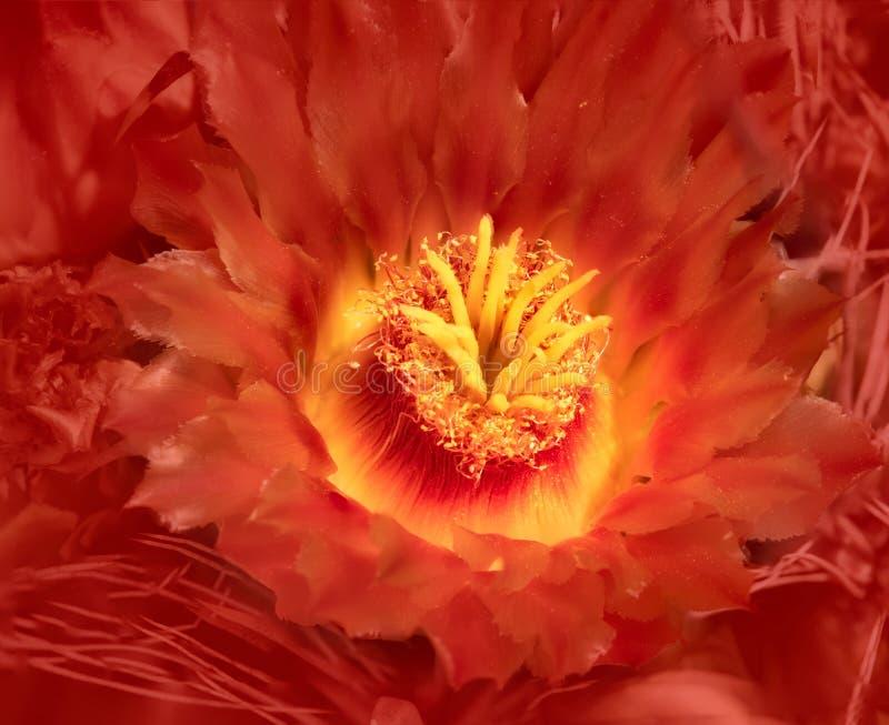 Cierre anaranjado de la flor del cactus de barril encima de la floración del desierto fotos de archivo libres de regalías