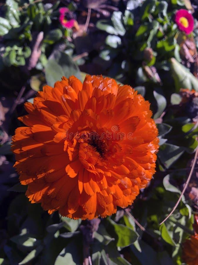 Cierre anaranjado de la flor para arriba fotografía de archivo