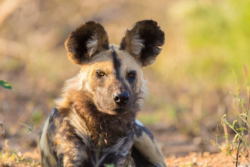 Cierre ascendente y retrato de un perro salvaje o de un Lycaon lindo que se acuesta en el arbusto Safari de la fauna en el parque imagenes de archivo
