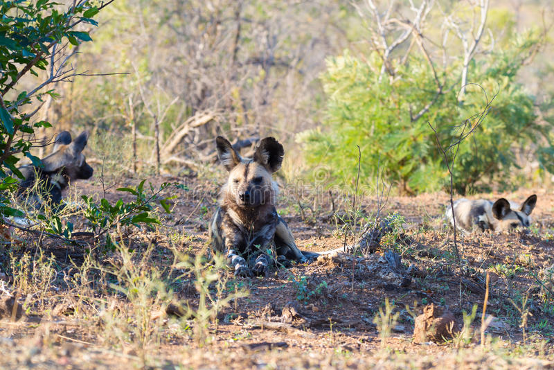 Cierre ascendente y retrato de un perro salvaje o de un Lycaon lindo que se acuesta en el arbusto Safari de la fauna en el parque imagen de archivo libre de regalías