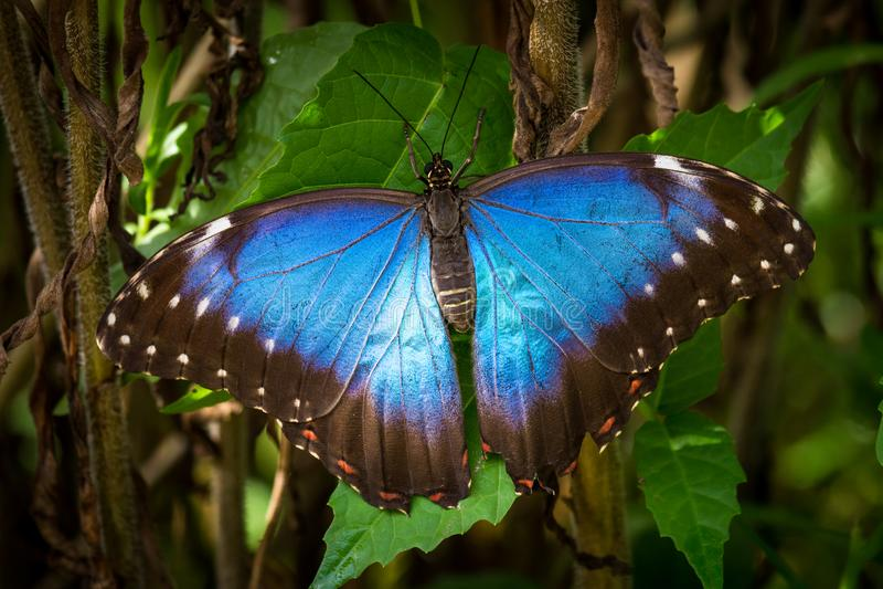 Cierre azul de la mariposa encima del detalle foto de archivo
