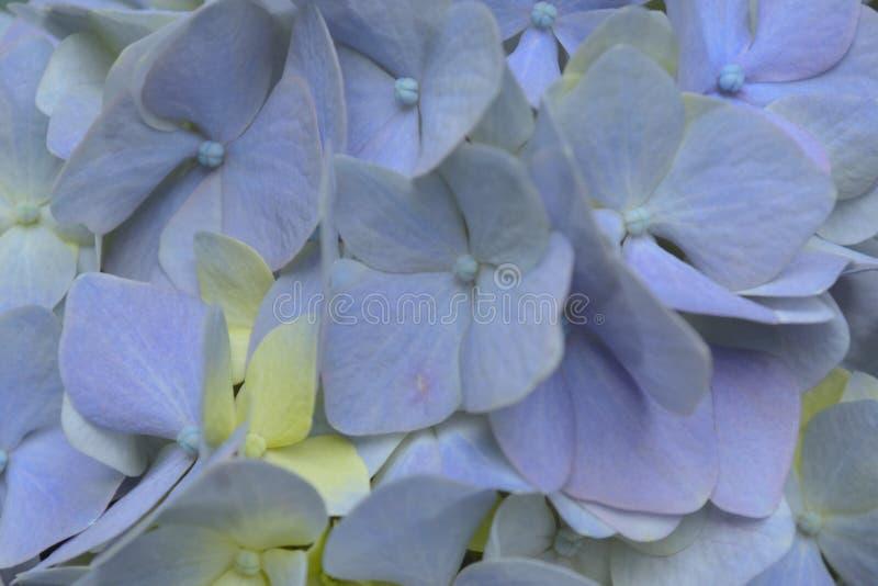 Cierre azul del Hydrangea para arriba imagenes de archivo
