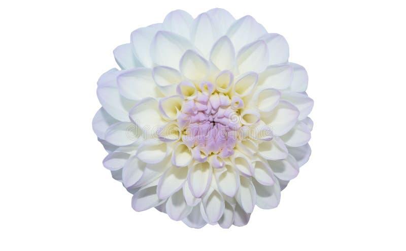 Cierre blanco de la flor de Gergina encima del aislante en el fondo blanco foto de archivo