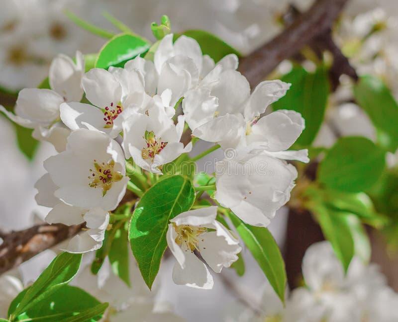Cierre blanco de la rama de las flores de Apple encima de la primavera imagen de archivo libre de regalías