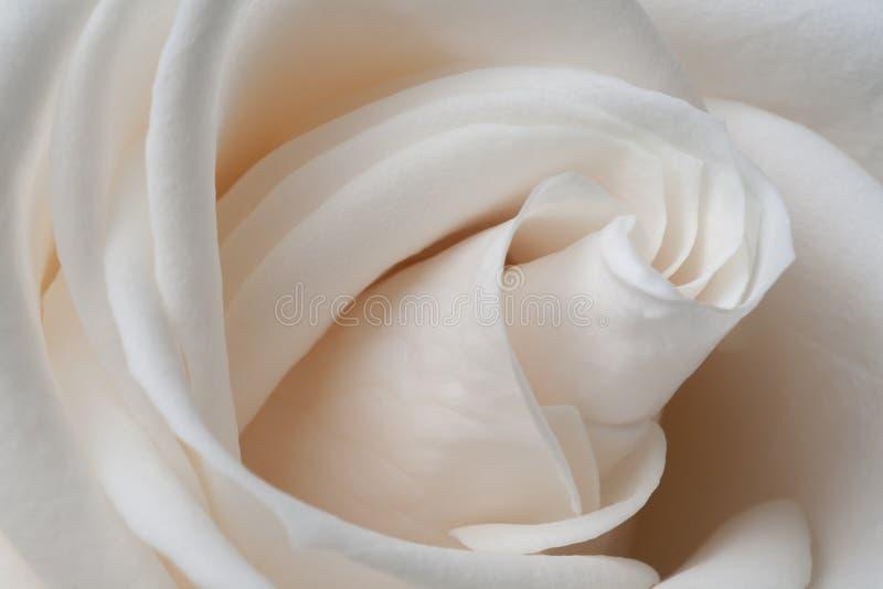 Cierre blanco de Rose para arriba imagenes de archivo