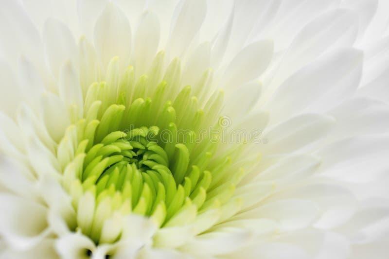 Cierre blanco del crisantemo para arriba fotografía de archivo
