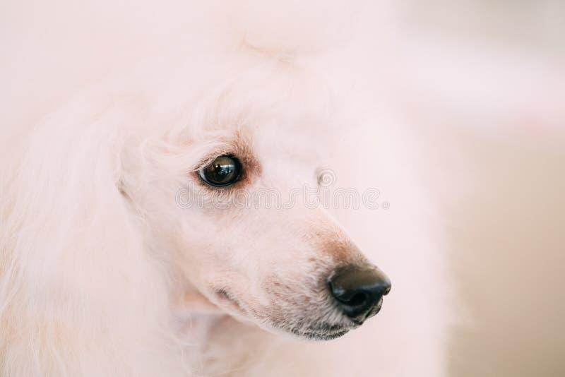Cierre blanco del perro de caniche estándar encima del retrato fotografía de archivo