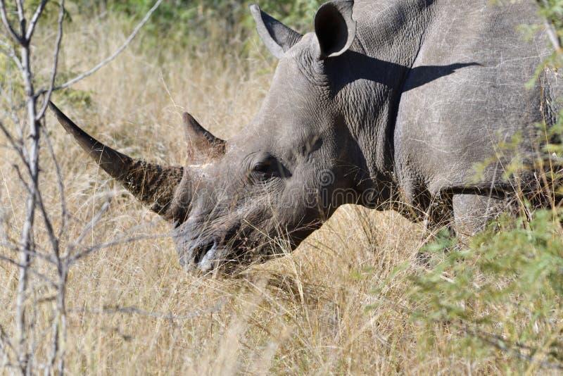Cierre blanco del rinoceronte para arriba fotos de archivo libres de regalías