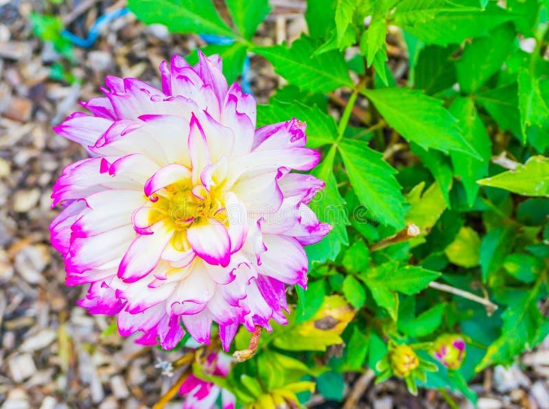 Cierre blanco rosado púrpura grande de la macro de la flor de la dalia para arriba foto de archivo libre de regalías
