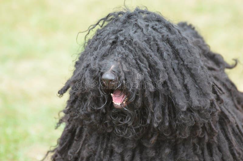 Cierre cara arriba del perro lindo de Puli imagenes de archivo