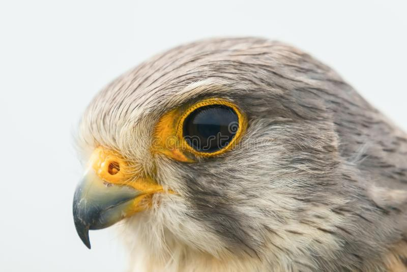 Cierre común del retrato del cernícalo encima del cernícalo europeo del tinnunculus de Falco fotografía de archivo