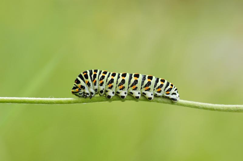 Cierre de Caterpillar Swallowtail para arriba en un fondo verde fotos de archivo