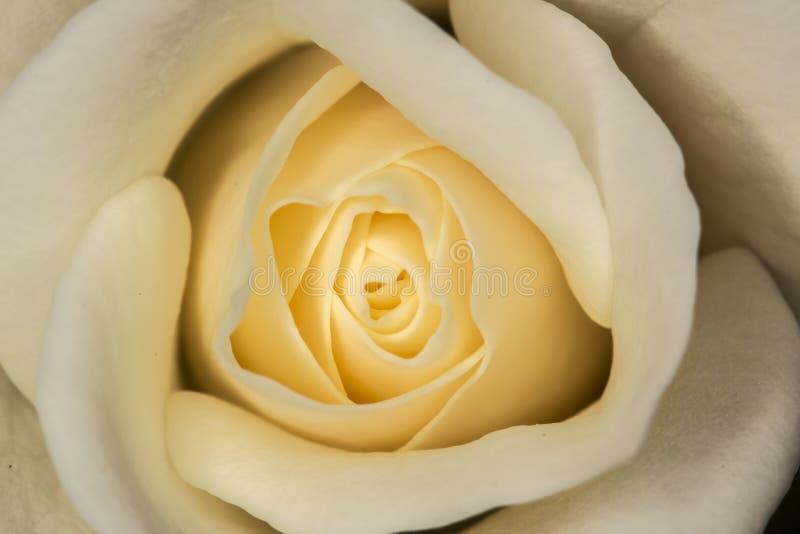 Cierre de Champagne Rose Bud para arriba imagen de archivo libre de regalías