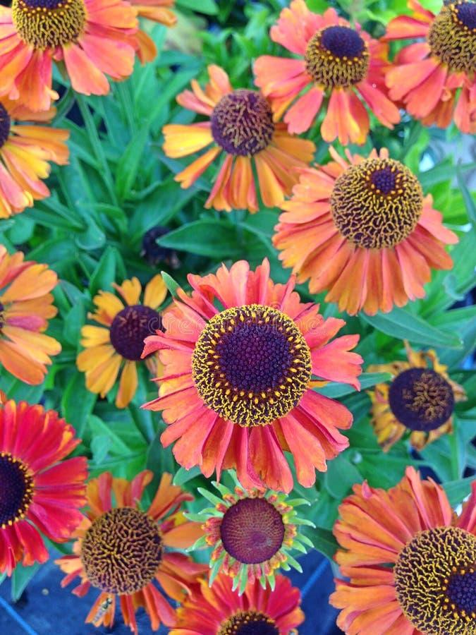 Cierre de coloridas flores de Helenio foto de archivo libre de regalías