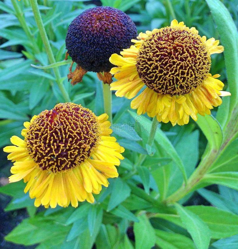 Cierre de flores Helénicas de color amarillo derecho imagen de archivo libre de regalías