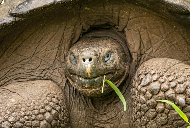 Cierre de Galápagos Tortoise en la isla de Santa Cruz imagen de archivo libre de regalías