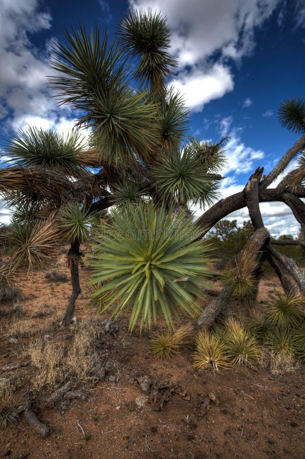 Cierre de Joshua Tree Up en el desierto de Arizona foto de archivo libre de regalías