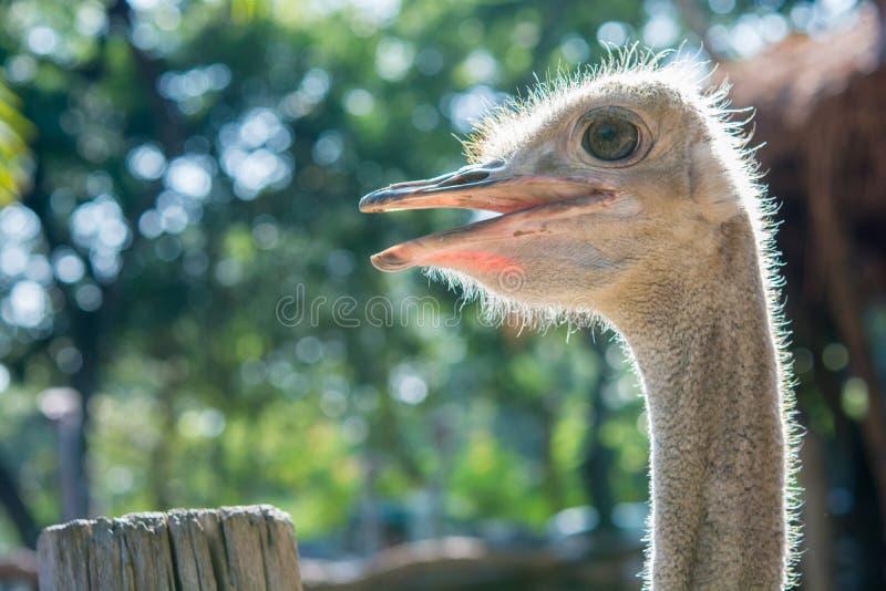 Cierre de la cabeza de la avestruz para arriba fotografía de archivo libre de regalías