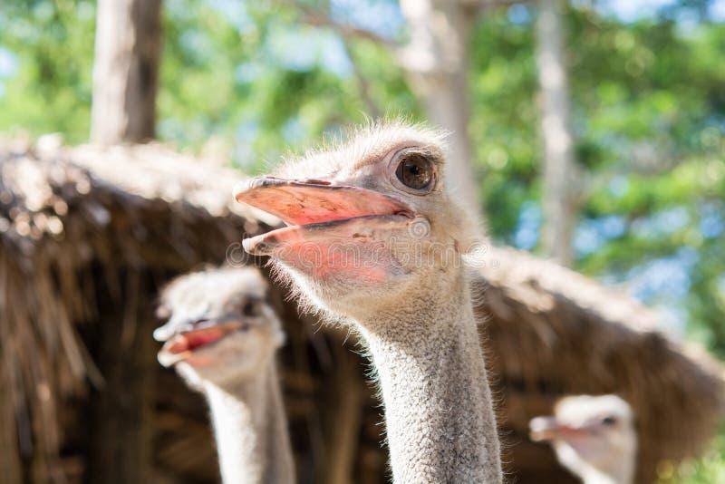 Cierre de la cabeza de la avestruz para arriba foto de archivo