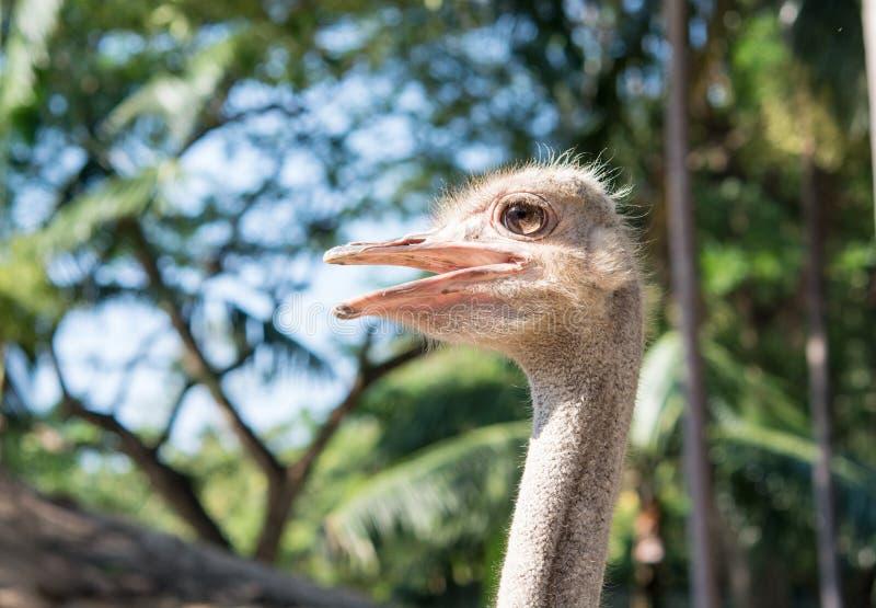 Cierre de la cabeza de la avestruz para arriba imagen de archivo