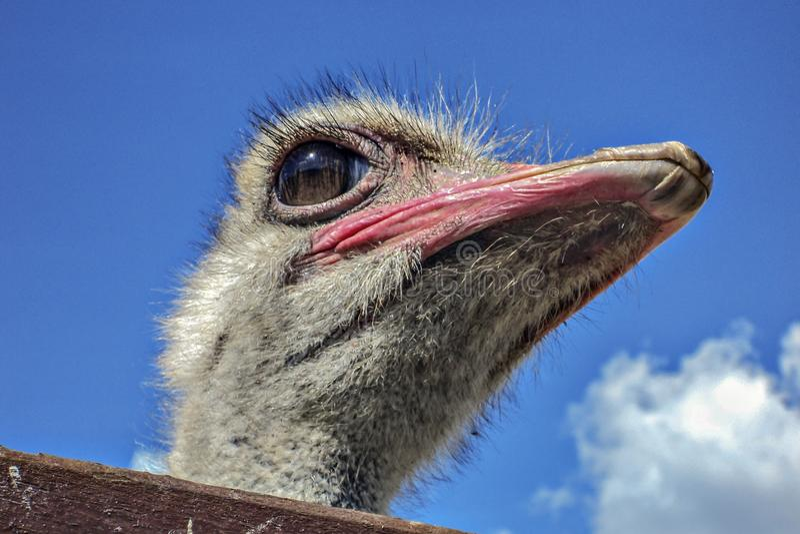 Cierre de la cabeza del pájaro de la avestruz para arriba en fondo del cielo azul imágenes de archivo libres de regalías