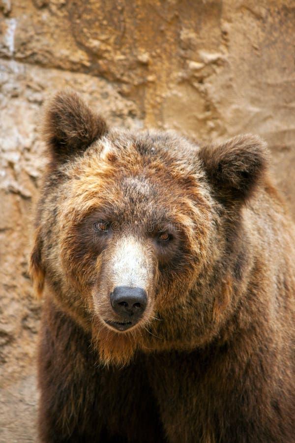 Cierre de la cara del oso de Brown para arriba fotos de archivo libres de regalías