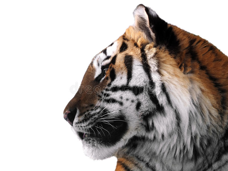Cierre de la cara del ` s del tigre para arriba aislado en el perfil blanco foto de archivo libre de regalías