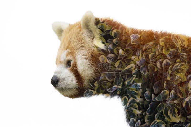 Cierre de la cara de la panda roja para arriba con el fondo verde blured fotografía de archivo