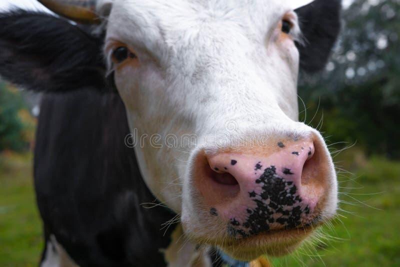 Cierre de la cara de la vaca para arriba Vaca blanco y negro con una nariz rosada para hacer publicidad con un lugar para la insc fotografía de archivo libre de regalías