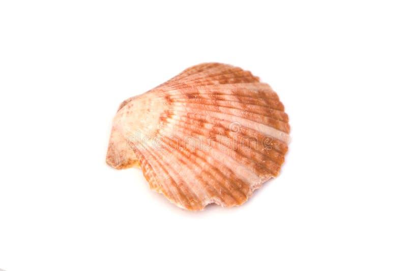 Cierre de la concha del océano aislada en fondo blanco foto de archivo libre de regalías