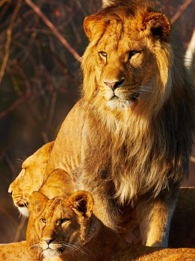 Cierre de la familia del león junto fotografía de archivo libre de regalías