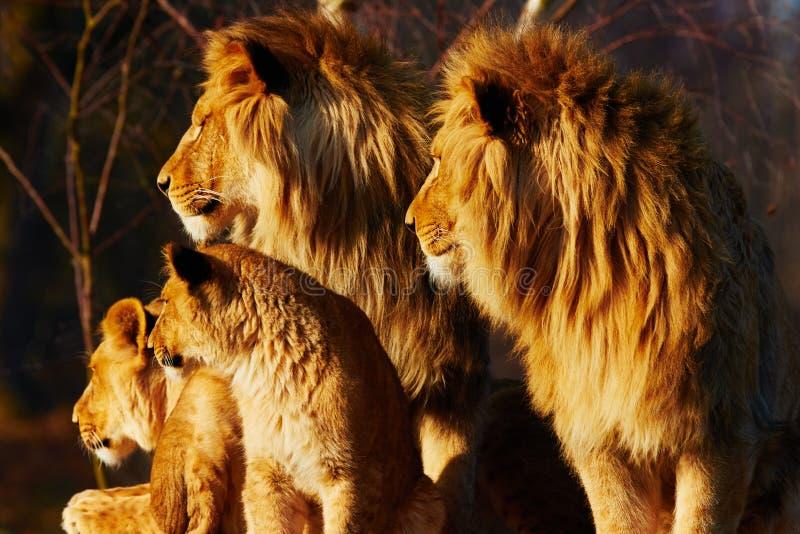 Cierre de la familia del león junto fotos de archivo