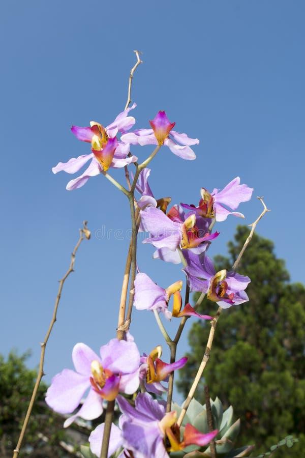 Cierre de la flor de la orquídea para arriba foto de archivo