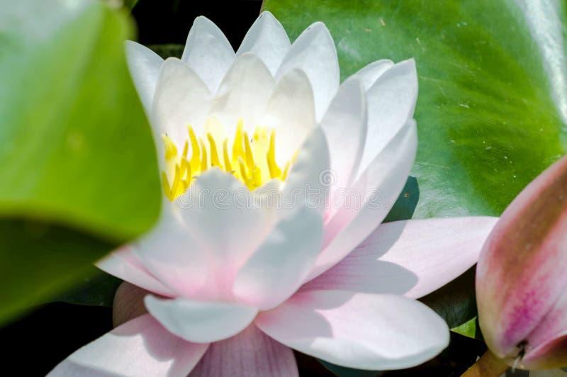 Cierre de la flor del lirio de agua encima de la fotografía imagen de archivo